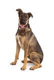 Pastor Mix Dog Happy Imágenes de archivo libres de regalías