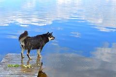 Pastor molhado Lapinporokoira de Lapponian ou cão da rena do Lapp ou Lapsk Vallhund no lago azul do fundo com reflexão dos clo br fotografia de stock royalty free
