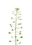 Pastor-monedero (Capsella Bursa-pastoris) Foto de archivo