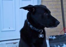 Pastor negro Dog Keeping Watch después de la nevada imagen de archivo