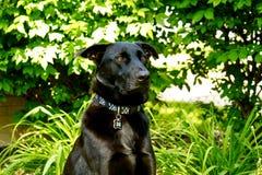 Pastor negro Dog Keeping Watch en su yarda con mirada pasmada durante verano Foto de archivo