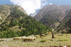 Pastor novo com seus cordeiros nas montanhas Imagens de Stock Royalty Free