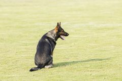 Pastor oriental Dog Imagens de Stock Royalty Free
