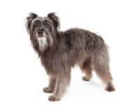 Pastor pirenaico lindo Dog Standing Imagem de Stock