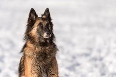 Pastor Portrait O cão está sentando-se na neve imagens de stock royalty free