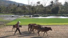 Pastor On Rice Field del búfalo metrajes