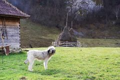Pastor rumano Dog en un pueblo de montaña fotografía de archivo libre de regalías