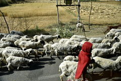 Pastor With Sheep Imagem de Stock