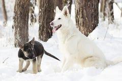 Pastor suíço Dog Imagens de Stock Royalty Free