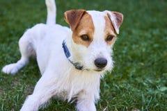Pastor-Terrierhund Jacks Russell, der Knochen kaut Lizenzfreie Stockfotografie