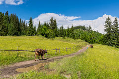 Pastor y vacas en las montañas cárpatas imagen de archivo