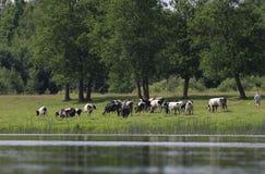A pastora pasta o rebanho das vacas Foto de Stock