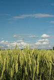 Pastoral. Wheat field in close-up Royalty Free Stock Photography