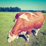 pastoral fotografia stock libera da diritti