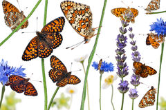 Pastoral composition of Knapweed Fritillary Stock Photo