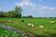 Pastoral Dutch landscape. Lamb, canals, rural Netherlands stock photography