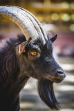 Pastoral, goat with horns and thick fur Royalty Free Stock Image