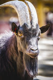 Pastoral, goat with horns and thick fur Royalty Free Stock Images