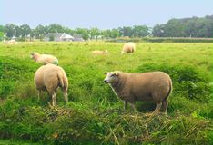 Pastoral green field with sheeps. Pastoral green field blue sky and sheeps stock image