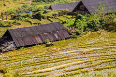 Pastoral house with buffalo travelling in the rice field Stock Photography