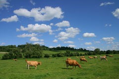 Pastoral Landscape. Peaceful pastoral scene with a herd of contented  guernsey cows to foreground with rolling green Chiltern countryside and fluffy white clouds Stock Photo