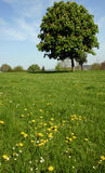 Pastoral landscape. A single chestnut tree dominates a wildflower meadow scene in Buckinghamshire, England.  Dandelions and daisies to foreground Stock Image