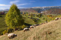 Pastoral Landscape. Alpine landscape with grazing sheep in the foreground and Piatra Craiului mountains in background. Early fall, near Brasov, Transylvania royalty free stock images