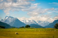 Pastoral New Zealand Landscape. Scene with snow-capped mountains and meadows with sheep from the remote Kinloch-Glenorchy road in Otago Region, New Zealand Stock Image