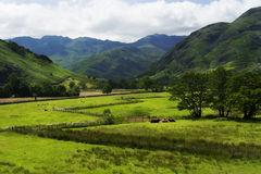 Pastoral peace near Keswick in the Lake District Cumbria England. Cows rest is pastoral peace near Keswick in the Lake District, near Cumbria England. The Lake royalty free stock images