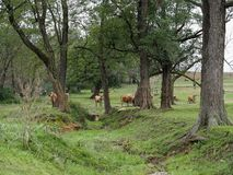 Pastoral Pennsylvania Countryside in Lancaster County. A green pastoral scene of woods, dry creek bed, and cattle in Lancaster County, Pennsylvania stock images