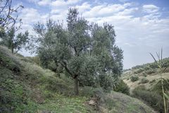 Pastoral perspective shot of olive tree on the hill in Izmir at Turkey royalty free stock images