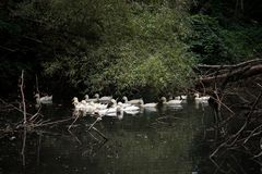 Pastoral picture, geese floating on the pond and around the trees. royalty free stock images