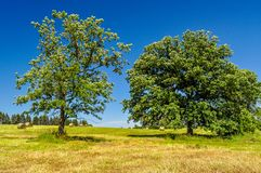 Pastoral Scene in Central Minnesota. Large trees create much needed shade on a hot summer day in a farm field in Central Minnesota royalty free stock photography