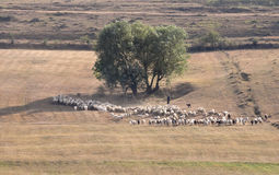 Pastoral scene with flock of sheep Stock Images