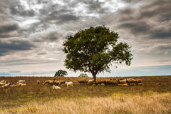 Pastoral scene with lambs and tree Royalty Free Stock Photos