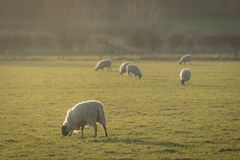 Pastoral scene with sheep in field Royalty Free Stock Photo