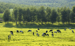 Pastoral scenery. A beautiful pastoral scenery, cows grazing in the pastures Royalty Free Stock Image