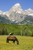Pastoral sceni of the Tetons. Pastoral scene of horses grazing in a meadow in the Grand Tetons stock photography