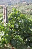 Pastoral Vine Yard. Plants with grapes over the green field valley stock images