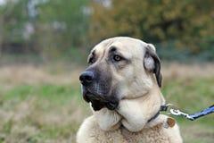 pastore anatolico del cane Fotografia Stock Libera da Diritti
