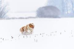 Pastore australiano che funziona sul campo nevoso Immagini Stock