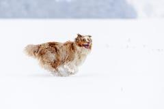 Pastore australiano dal lato che funziona sul campo nevoso Fotografie Stock Libere da Diritti