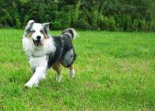 Pastore australiano del cane Immagine Stock