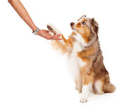 Pastore australiano Dog Extending Paw all'essere umano Fotografia Stock Libera da Diritti
