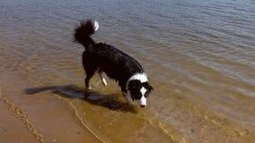 Pastore australiano Dog sul fiume video d archivio