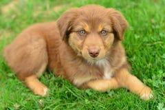 Pastore australiano tricolore Puppy Aussie di tri colore rosso Fotografie Stock Libere da Diritti