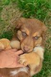 Pastore australiano tricolore Puppy Aussie di tri colore rosso Fotografia Stock