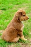 Pastore australiano tricolore Puppy Aussie di tri colore rosso Fotografie Stock