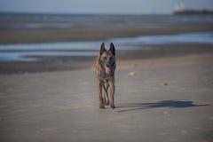Pastore belga che cammina sulla spiaggia di sabbia immagine stock