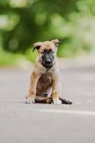 Pastore belga Dog (Malinois) Immagine Stock Libera da Diritti